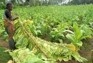 Tobacco exports grow